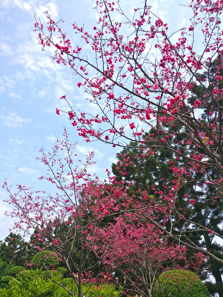 Cherry Blossom at Chiang Kai-Shek Memorial Hall in Taipei, Taiwan